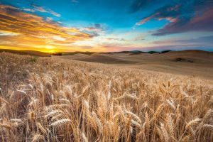 wheat field a treasure